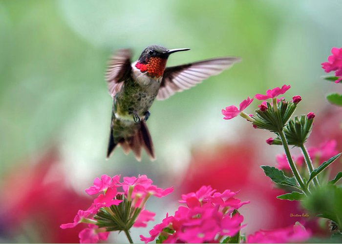 Hummingbird Greeting Card featuring the photograph Ruby Garden Jewel by Christina Rollo