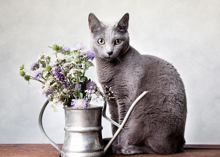 Cat Greeting Card featuring the photograph Russian Blue 02 by Nailia Schwarz