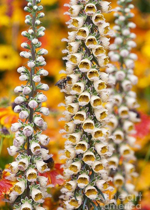 Foxglove Flowers Photographs Greeting Cards