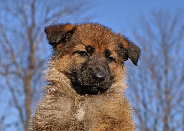 Dogs Greeting Card featuring the photograph Sable German Shepherd Puppy II by Sandy Keeton