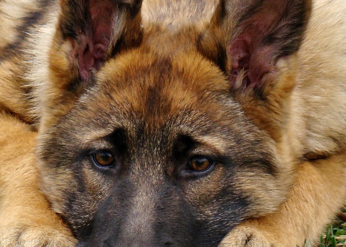 Sable german shepherd puppy greeting card for sale by sandy keeton german shepherd greeting card featuring the photograph sable german shepherd puppy by sandy keeton m4hsunfo