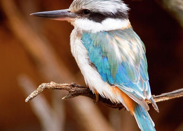Kingfisher Greeting Card featuring the photograph Sacred Kingfisher by Mike Dawson