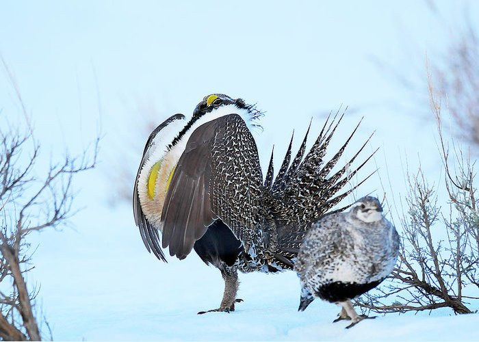 Bird Greeting Card featuring the photograph Sage Grouse by Dennis Hammer