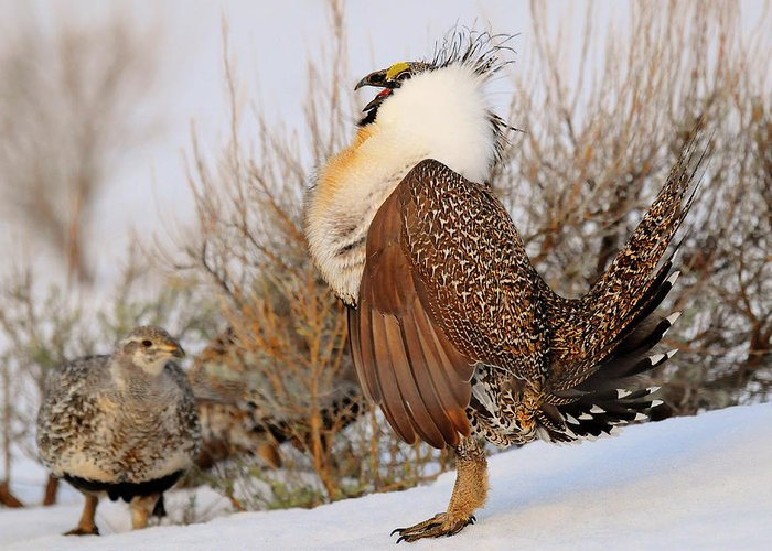 Bird Greeting Card featuring the photograph Sage Grouse Strut by Dennis Hammer