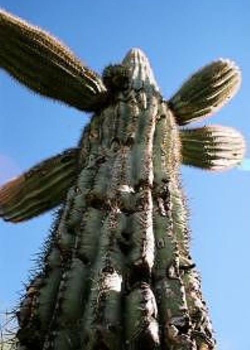 Saguaro Greeting Card featuring the photograph Saguaro Daddy by Kevin Igo