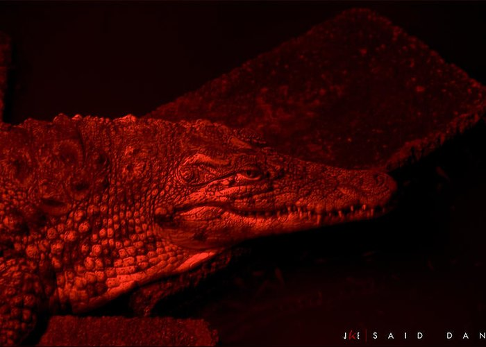 Alligator Greeting Card featuring the photograph Said Dante by Jonathan Ellis Keys