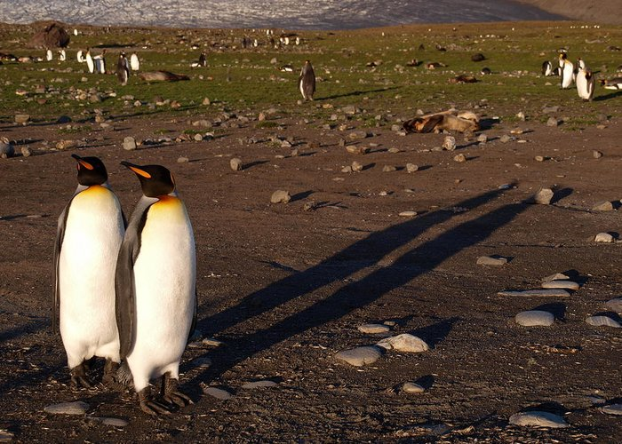 Penguins Greeting Card featuring the photograph Saint Andrews Bay South Georgia 55 by Per Lidvall
