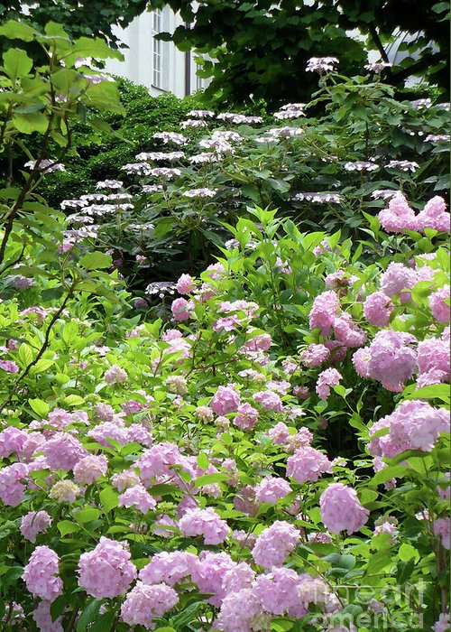 Austria Greeting Card featuring the photograph Pink Hydrangeas In Mirabell Garden by Carol Groenen