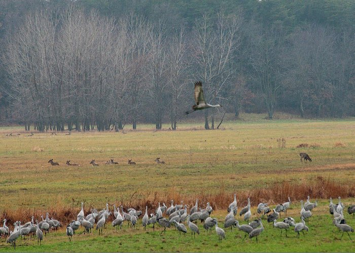 Birds Greeting Card featuring the photograph Sand Hill Crane Migration by David Arment