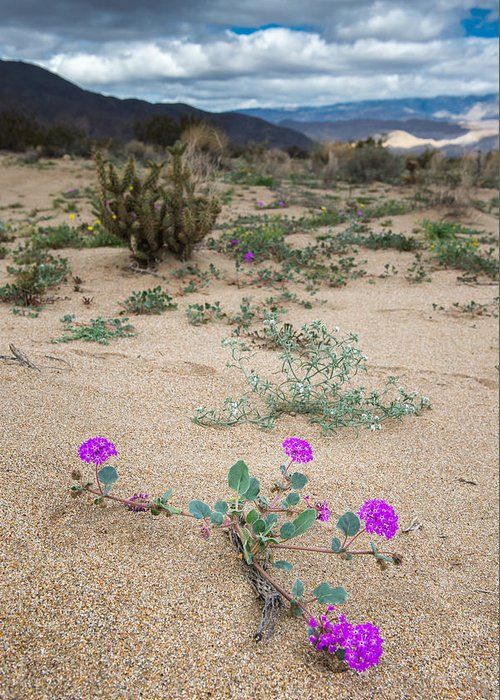 Floral Greeting Card featuring the photograph Sand Verbena by Joseph Smith