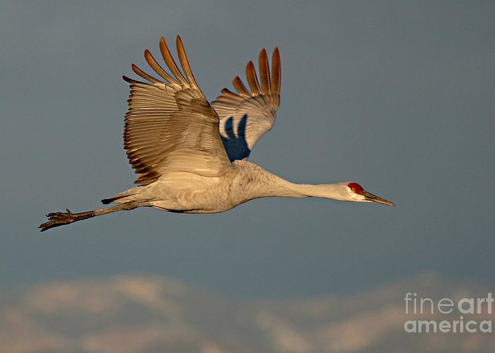 Crane Greeting Card featuring the photograph Sandhill Crane Flying Above The Mountains Of New Mexico by Max Allen