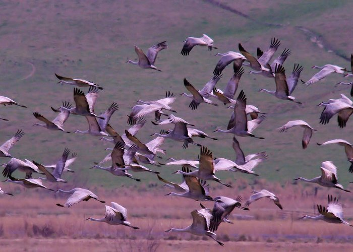 Birds Greeting Card featuring the photograph Sandhill Cranes by Jeff Swan
