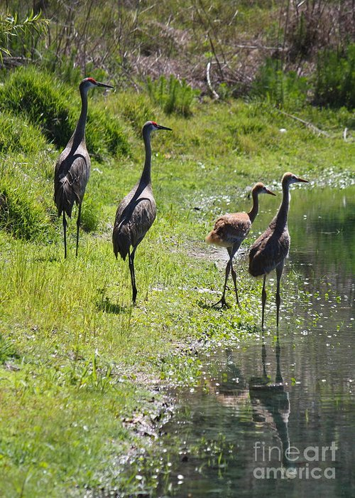 Sandhill Cranes Greeting Card featuring the photograph Sandhill Family By The Pond by Carol Groenen