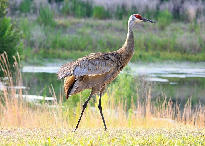 Sandhill Crane Greeting Card featuring the photograph Sandhill In The Sunshine by Carol Groenen