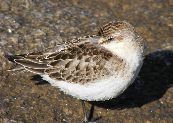 Sandpiper Greeting Card featuring the photograph Sandpiper by Doug Mills