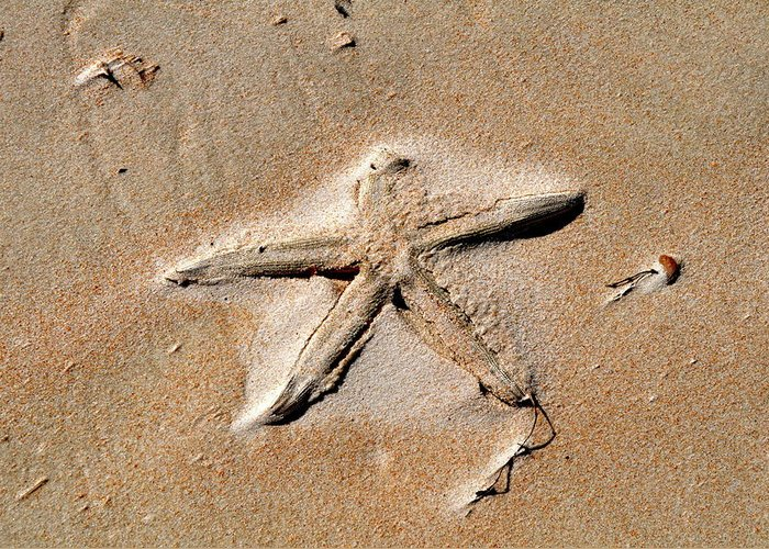 Starfish Greeting Card featuring the photograph Sandy Starfish by Laura Ogrodnik