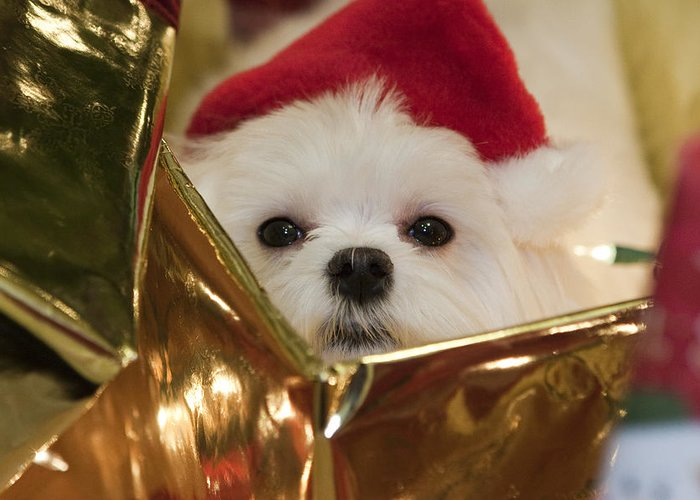 Maltese Greeting Card featuring the photograph Santa Paws by Leslie Leda