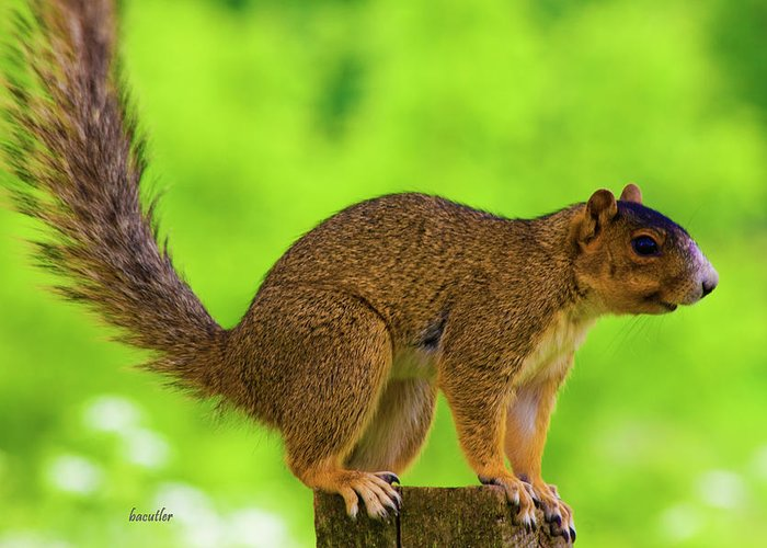 Fox Squirrel Greeting Card featuring the photograph Sass by Betsy Knapp