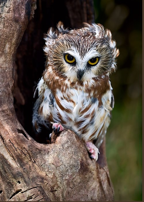 Whet Owl Greeting Cards