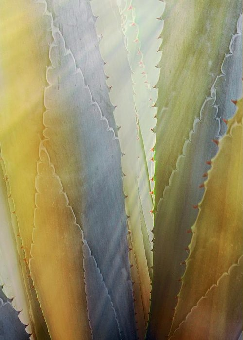 Nature Greeting Card featuring the photograph Sawtooth Agave Gold Light by Zayne Diamond Photographic