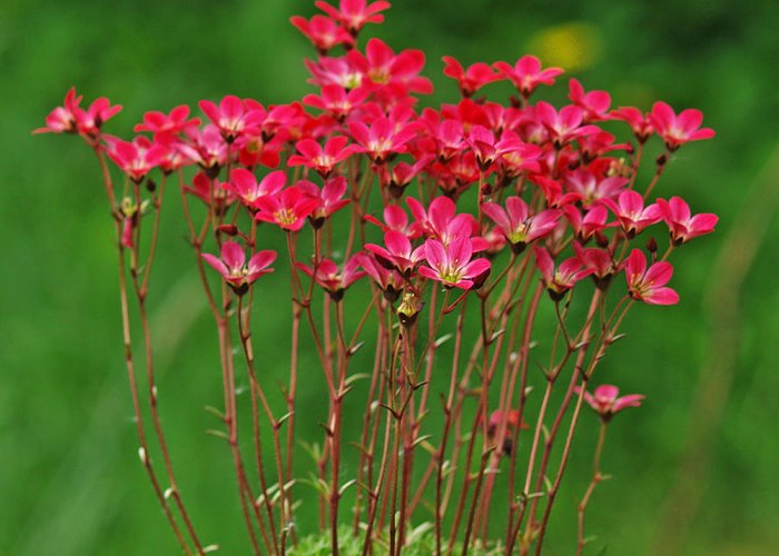 Flowers Greeting Card featuring the photograph Saxifrage by Steve Watson