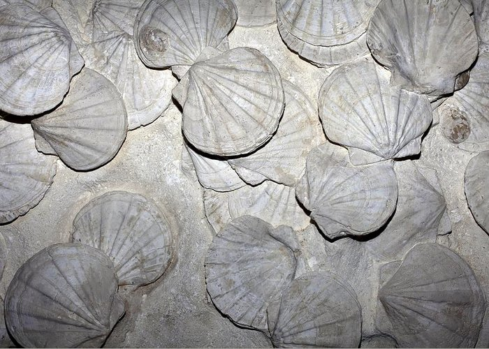 Chlamys Latissima Greeting Card featuring the photograph Scallop Fossils by Dirk Wiersma