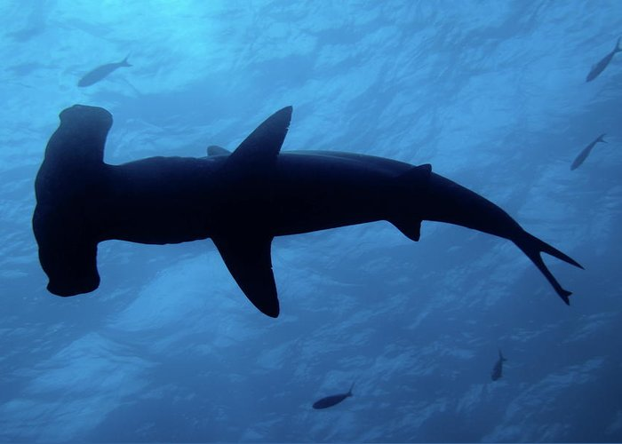 Horizontal Greeting Card featuring the photograph Scalloped Hammerhead Shark Underwater View by Sami Sarkis