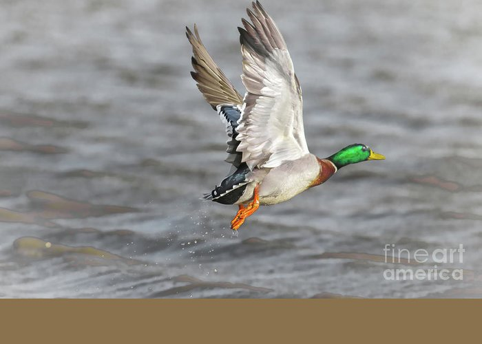 Duck Greeting Card featuring the photograph Scared Mallard Drake by Robert Frederick