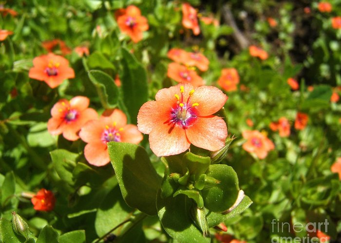 Artoffoxvox Greeting Card featuring the photograph Scarlet Pimpernel Flower Photograph by Kristen Fox