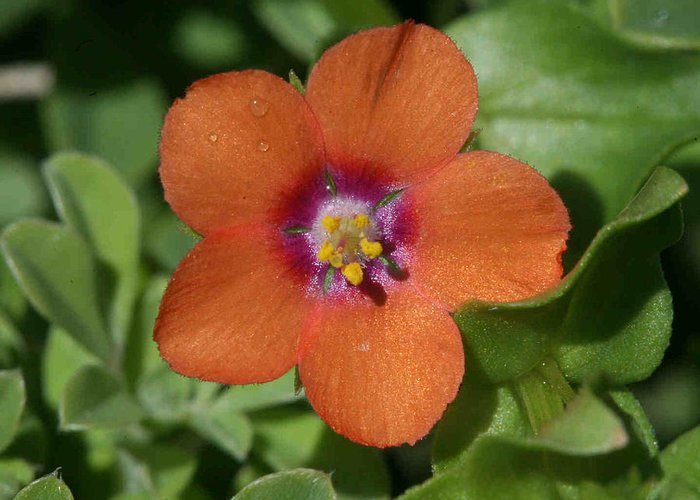 Pimpernel Greeting Card featuring the photograph Scarlet Pimpernel by Matt Cormons