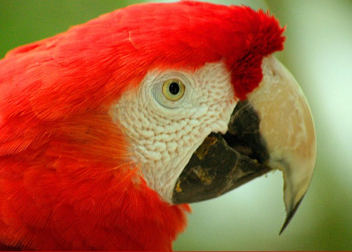 Parrot Greeting Card featuring the photograph Scarlett Macaw South America by Ralph A Ledergerber-Photography