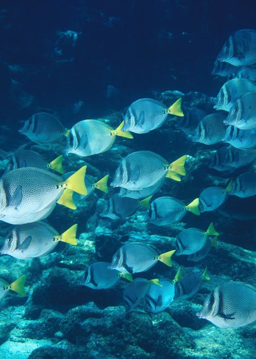 Diving Greeting Card featuring the photograph School Of Surgeonfish Cruising Reef by James Forte