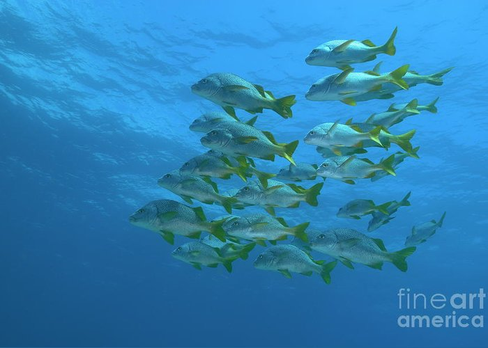 Conformity Greeting Card featuring the photograph School Of Yellowtail Grunt Underwater by Sami Sarkis