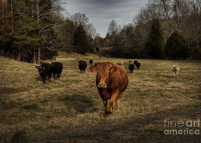 Scotopic Greeting Card featuring the photograph Scotopic Vision 9 - Cows Come Home by Pete Hellmann