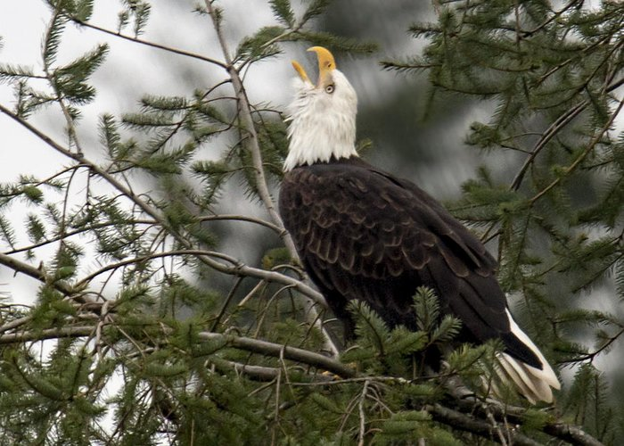 Bald Eagle Greeting Card featuring the photograph Screamin Eagle by Randy Hall