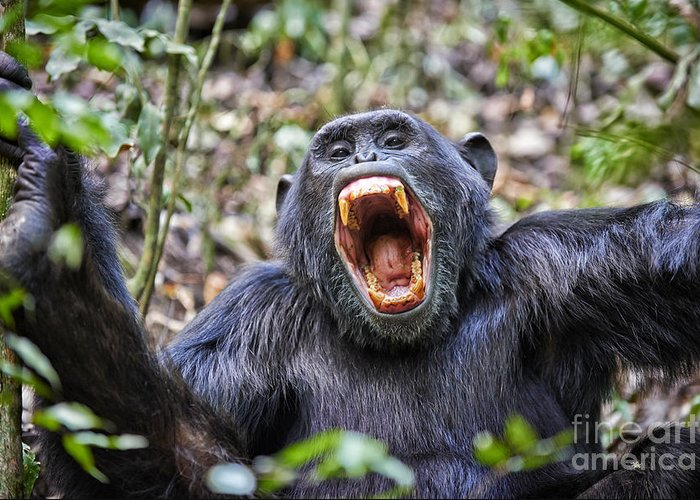 screaming portrait of Common chimpanzee Greeting Card
