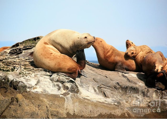 Sea Lions Greeting Card featuring the photograph Sea Lions by Chris Dutton