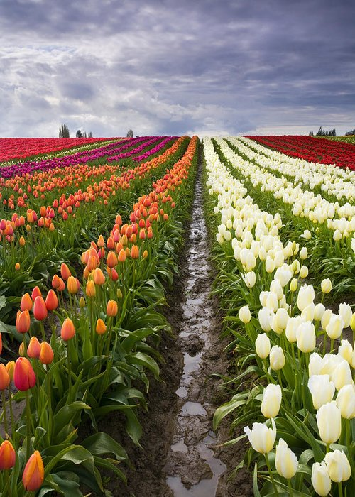 Tulips Greeting Card featuring the photograph Sea Of Color by Mike Dawson
