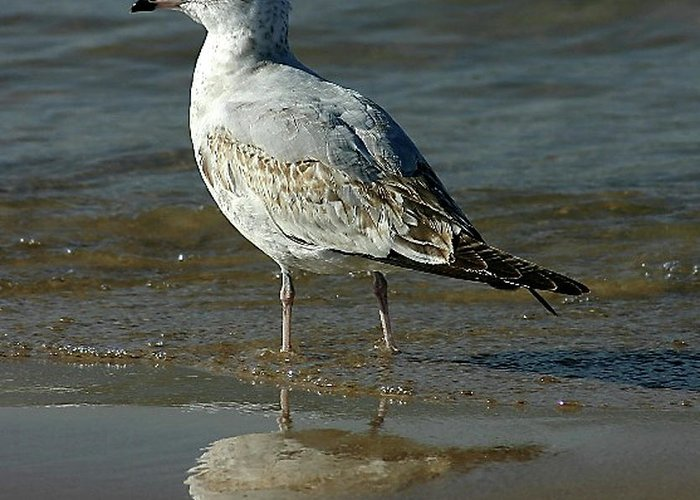 Seagull.wildlife Greeting Card featuring the photograph Seagull And His Reflection by Vincent Duis