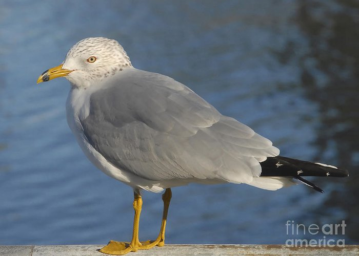 Seagull Greeting Card featuring the photograph Seagull by David Lee Thompson