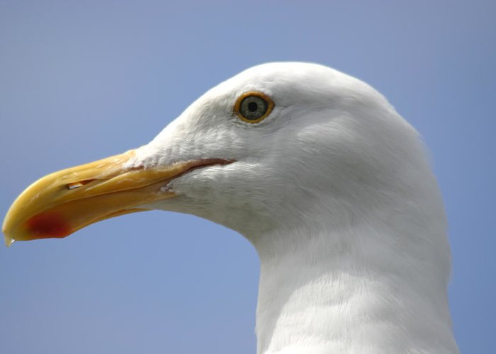Seagull Greeting Card featuring the photograph Seagull by Hans Jankowski