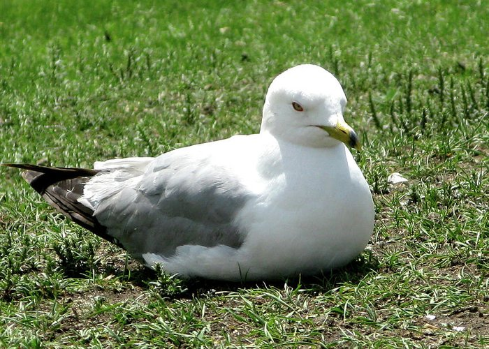Seagull Greeting Card featuring the photograph Seagull by Hugh Kroetsch