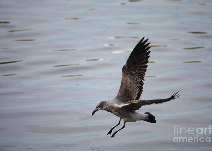 Wildlife Greeting Card featuring the photograph Seagull Landing by Carol Groenen