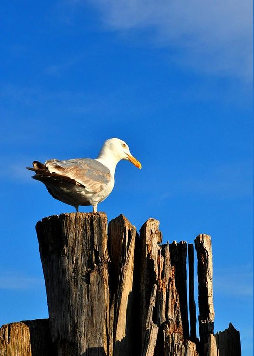 Seagull Greeting Card featuring the photograph Seagull On A Dock 2 by Andrew Dinh