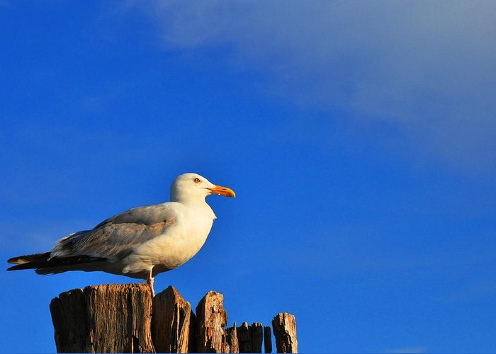 Seagull Greeting Card featuring the photograph Seagull On A Dock by Andrew Dinh