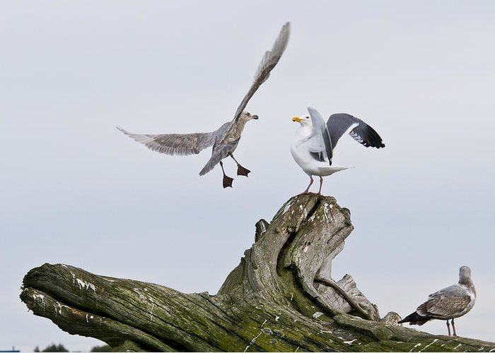 Birds Greeting Card featuring the photograph Seagulls In Dispute by Chad Davis