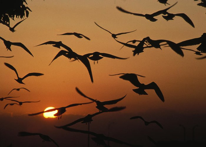 Birds Greeting Card featuring the photograph Seagulls In Sunset by Carl Purcell