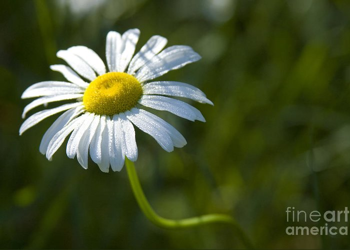 Daisy Greeting Card featuring the photograph Searching For Sunlight by Idaho Scenic Images Linda Lantzy