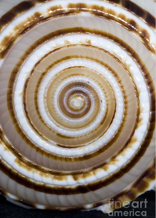 Beach Art Greeting Card featuring the photograph Seashell Spirals by Bill Brennan - Printscapes