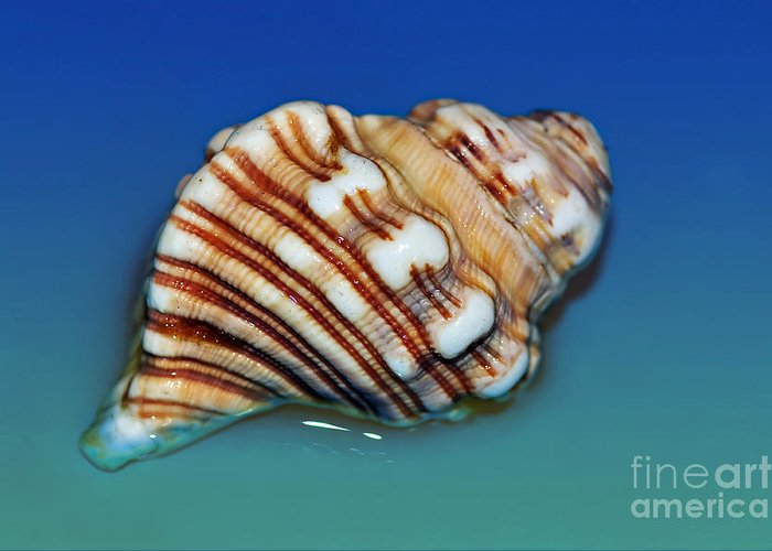 Photography Greeting Card featuring the photograph Seashell Wall Art 1 by Kaye Menner